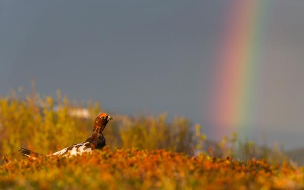 Regnbuestemning - lirype. 42 poeng. © Ketil Olsen