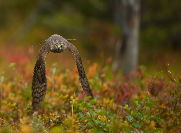Spurvehauk på jakt. 42 poeng. © Duy Ahn Pham