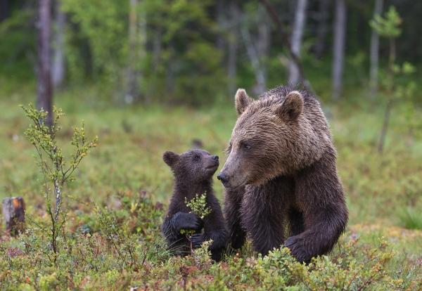 Opplæringstur for bjørnunger. Gull. © Duy Ahn Pham