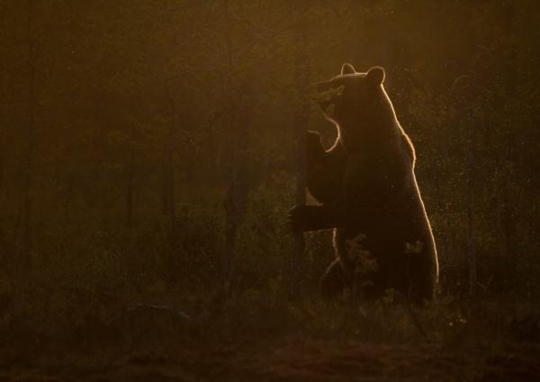Bjørn i motlys. 39 poeng. © Sunniva Roumimper