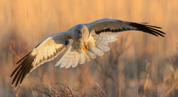 Myrhaukhann i morgensol. Gull. © Cato Elvik