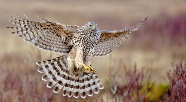 Unghauken lander. 42 poeng. © Svein R. Johannessen