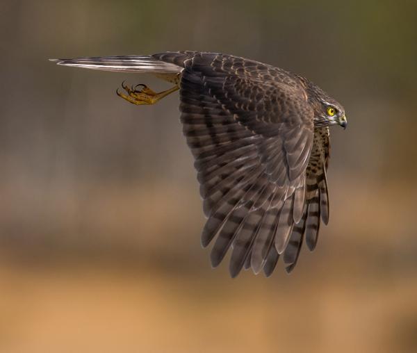 Spurvehauk i flukt. 39 poeng. © Steffen Johnsen