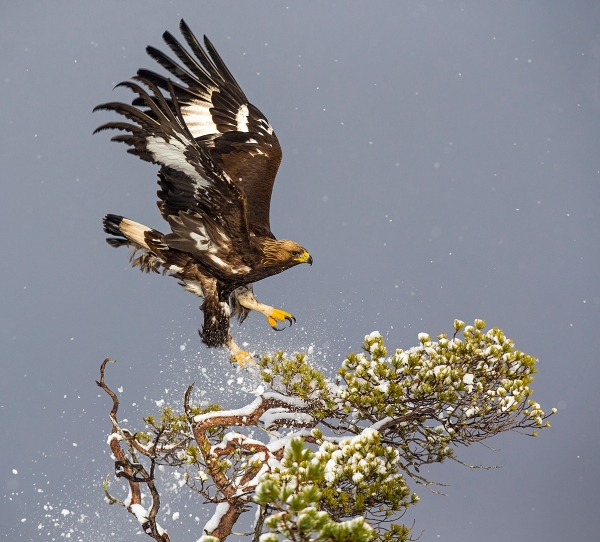 Kongeørn lander. Gull. © Magnar Lien