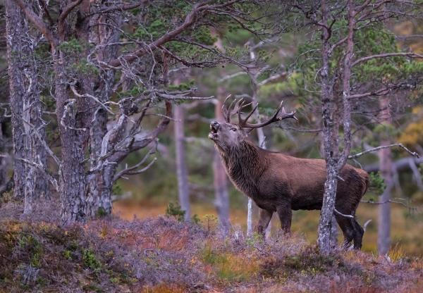 MÅNEDENS BILDE: Kronhjortbrøl i gammelskogen. Gull. © Magnar Lien