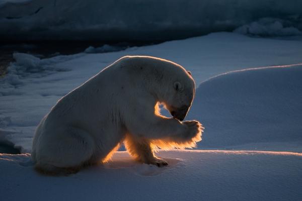 Isbjørnstell. Gull. © Duy Ahn Pham