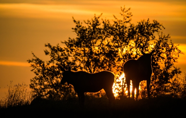 Siste solvarmen - elg. 43 poeng. © Duy Ahn Pham