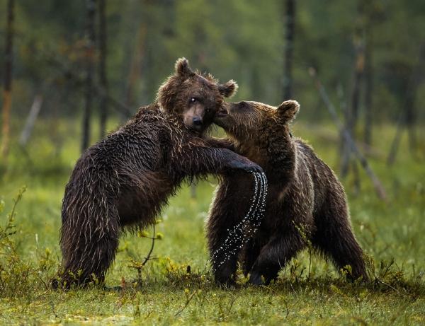 Fra lek til alvor - bjørnunger. Gull. © Duy Ahn Pham