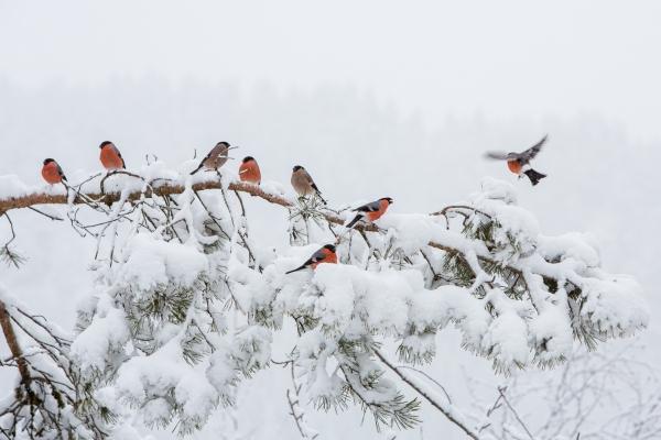 Dompaper i vinterskog. 43 poeng. © Rolf Selvik