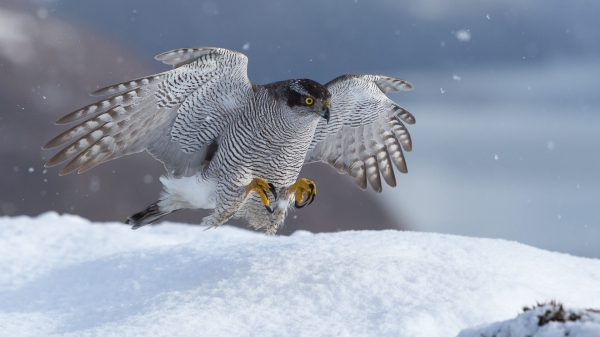 Hønsehauk lander. Gull. © Rolf Selvik
