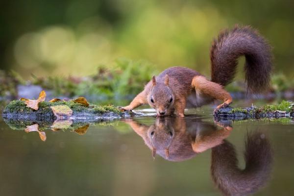 Drikkende ekorn. 40 poeng. © Trond Westby