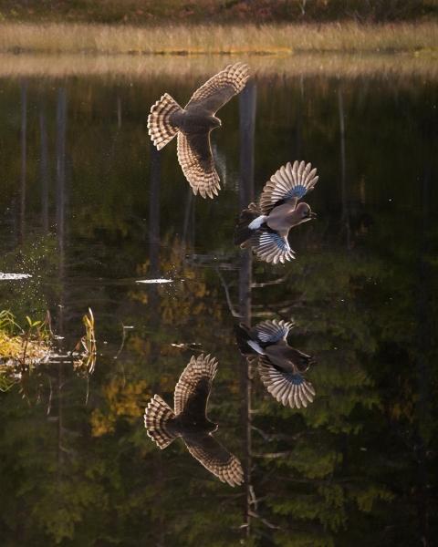 Spurvehauk på nøtteskrikejakt. Gull. © Steffen Johnsen