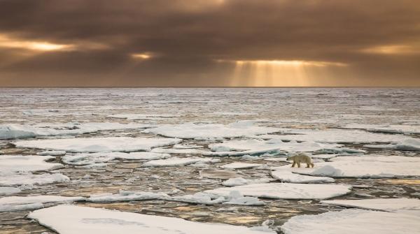 Isbjørnvandring. Gull. © Duy Ahn Pham