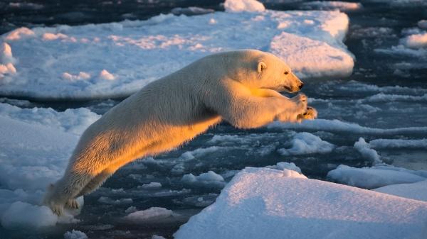 Isbjørnhopp. Gull. © Duy Ahn Pham