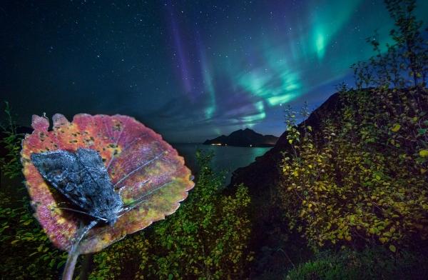 Nattsvermer under nordlys. Gull. © Audun Rikardsen