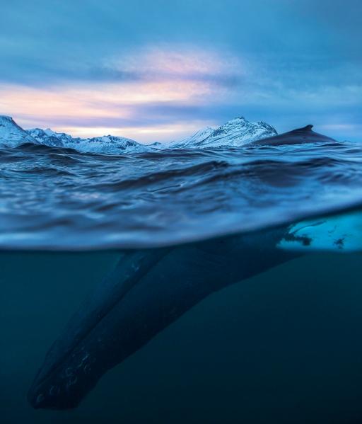 Mørketidsdykk knølhval. Gull. © Audun Rikardsen