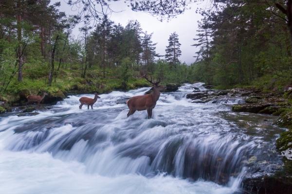 Hjortebukker i elv. Gull. © Rolf Selvik