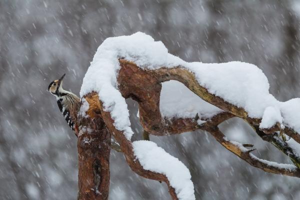Månedens bilde: Hvitryggspett i snøvær. Gull. © Rolf Selvik