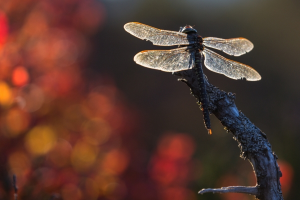 Høstlibelle. Gull. © Rolf Selvik