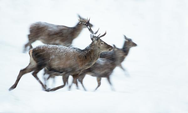 Hjortepanorering. 43 poeng. © Bjørn Aksel Bjerke
