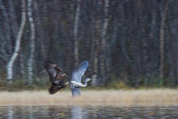 På hegrejakt. 40 poeng. © Arne Hugdal