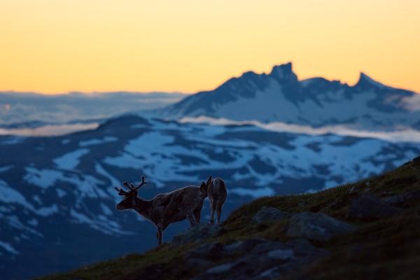 Reinsdyr mot Hurrungane. 43 poeng. © Arne K Mala