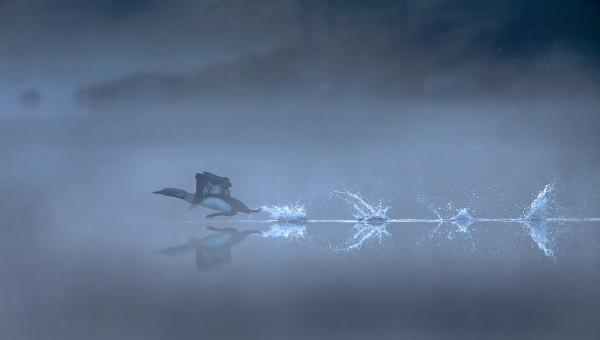 Storlom løper på vannet. 44 poeng. © Bernt Østhus