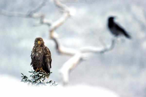 Ørn og ravn. 40 poeng. © Olav Thokle