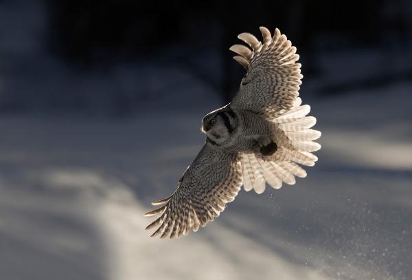 Haukugle i motlys. Gull. © Bjørn Aksel Bjerke