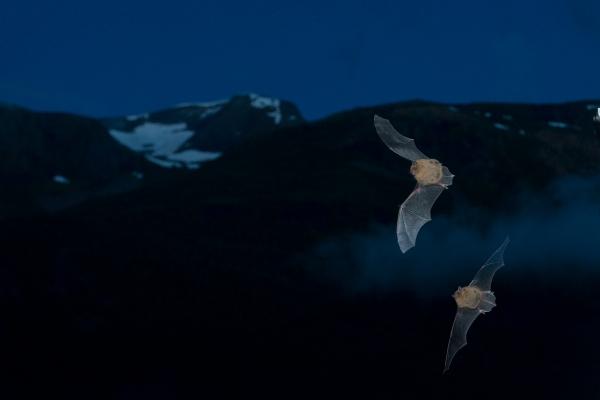 To dvergflaggermus. Gull. © Vegard Lødøen