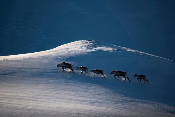 Reinsdyr i vinterlandskap. Gull. © Arne K Mala