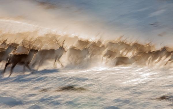 Reinsflokk på Blåfjell. 40 poeng. © Thomas Mørch