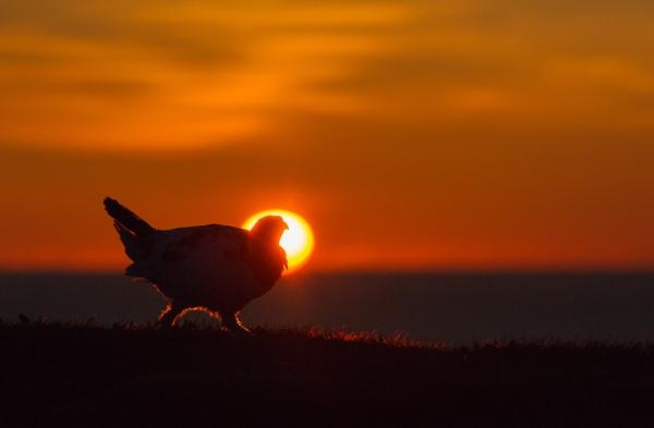 I midnattssola. Gull. © Ketil Olsen