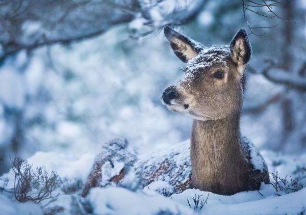 Kolle i snø. Gull. © Bernt Østhus