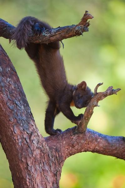 Mår-akrobat. 40 poeng. © Terje Sylte