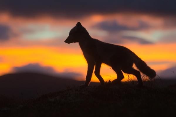 Fjellrev i morgengry. 40 poeng. © Terje Sylte