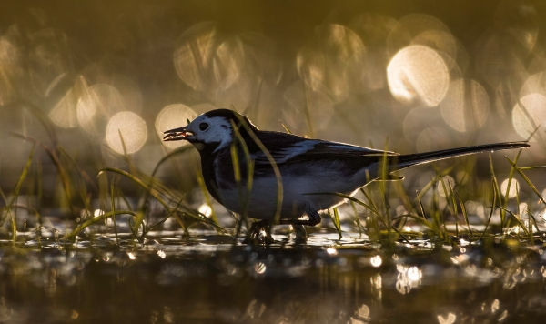 Svartryggerle. Gull. © Bjørn Erik Hellang