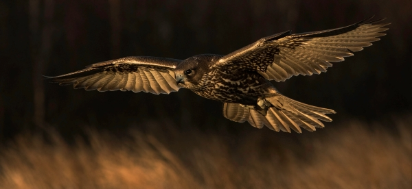 Jaktfalkflukt. Gull. © Bjørn Erik Hellang