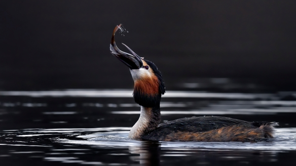 Toppdykker svelger abbor. Gull. © Ketil Knudsen