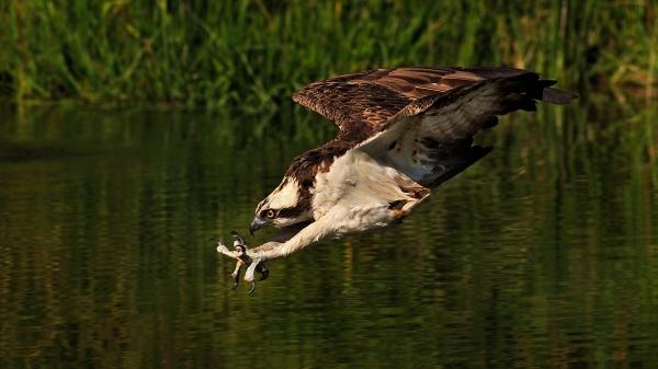 Fiskeørn i full konsentrasjon. Gull. © Ketil Knudsen