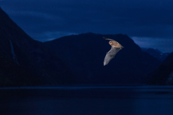 Flaggermus. Gull. © Vegard Lødøen