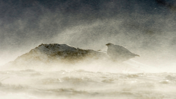 Rype i snøfokk. Gull. © Arne K Mala