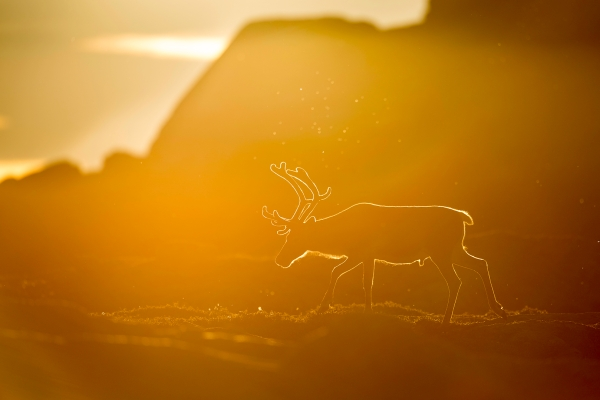 Reinsdyr i motlys. Gull. © Arne K Mala