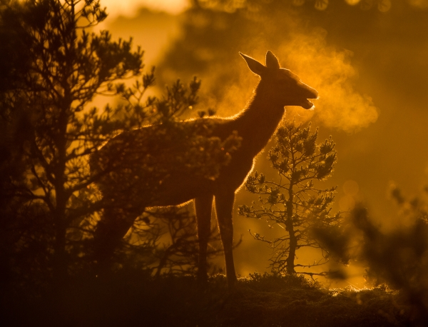 Hjort på utpust. Gull. © Bernt Østhus