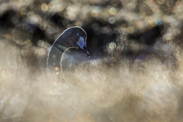 Ydmyk svane. Gull. © Bernt Østhus