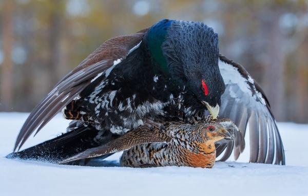 Storfuglparring. Gull. © Bernt Østhus