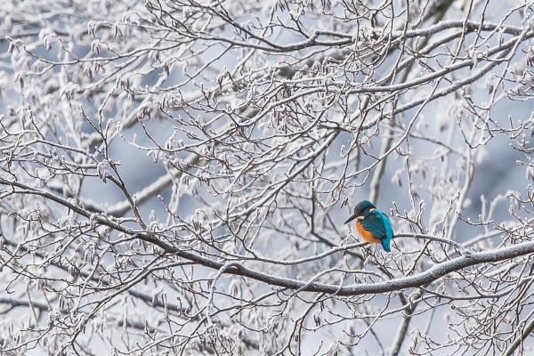 Isfugl. Gull. © Helge Søgnebotten