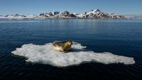 Storkobbe i Isfjorden. Gull. © Jørgen Skaug