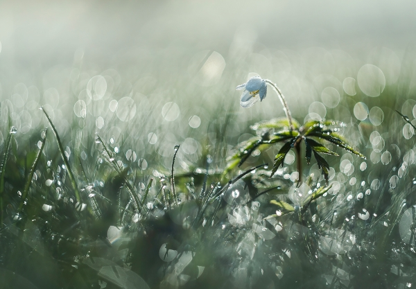 Hvitveis. Gull. © Sylwia Grabinska