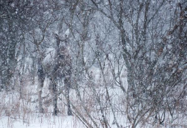 Elg i vinterkamuflasje. Gull. © Ørnulf Jenssen